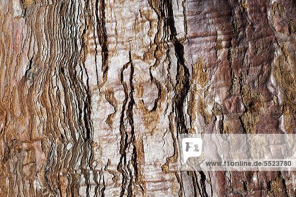 Baumborke  alter Mammutbaum (Sequoioideae)  Baden-Württemberg  Deutschland  Europa