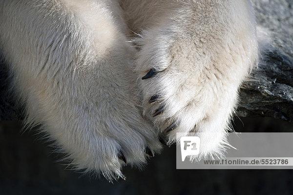 Tatzen und Krallen  Eisbär (Ursus maritimus)  Wilhelma  Stuttgart  Deutschland  Europa