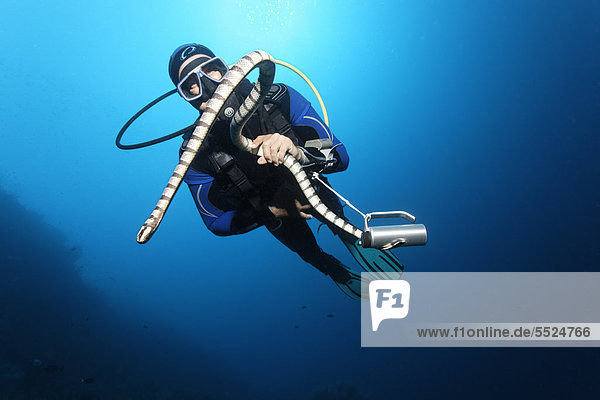 Scuba diver catching and looking at Colubrine Sea Krait (Laticauda colubrina)  in blue water  Great Barrier Reef  UNESCO World Heritage Site  Cairns  Queensland  Australia  Pacific