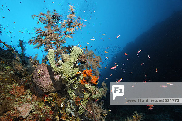 Coral reef wall with different sponges and corals  Great Barrier Reef  UNESCO World Heritage Site  Cairns  Queensland  Australia  Pacific