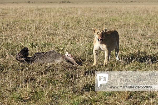 Ein Löwe (Panthera leo) frisst ein Streifengnu  Weißbartgnu (Connochaetes taurinus)  Masai Mara Naturschutzgebiet  Kenia  Ostafrika  Afrika  ÖffentlicherGrund