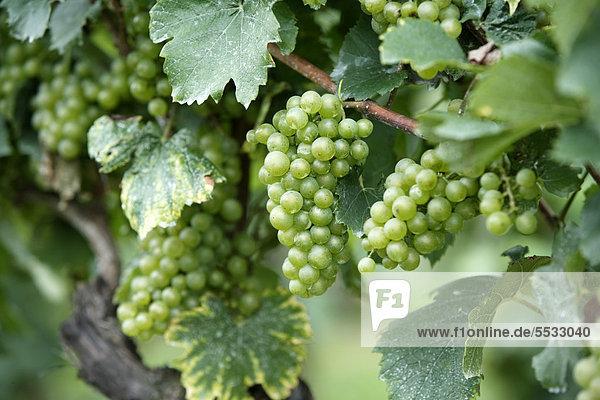 Weinrebe (Vitis vinifera)  Trauben  Pfalz  Deutschland  Europa