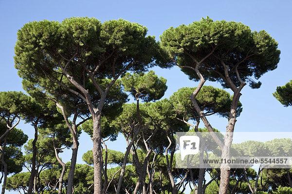 europa italien park villa borghese rom pinien pinus. Black Bedroom Furniture Sets. Home Design Ideas