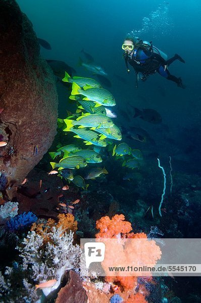Ribbon sweetlips Plectorhinchus albovitatus and a female diver in background on coral reef Indonesia