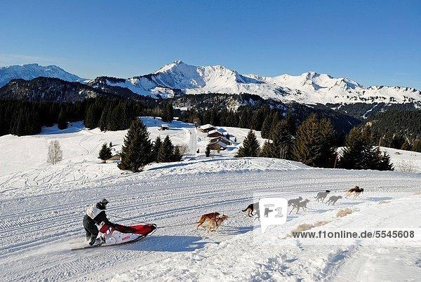 La Grande Odyssee  international sled dog race Mont Chery  Les Gets Haute-Savoie department  Rhone-Alpes region  France  Europe