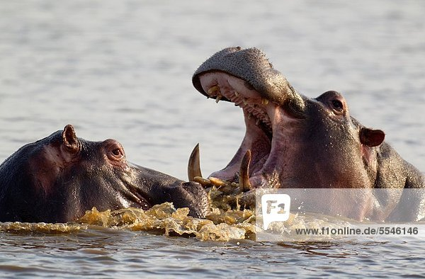 Südliches Afrika  Südafrika  Bulle  Stier  Stiere  Bullen  Flusspferd  Hippopotamus amphibius  Kampf  Sonnenuntergang  Spiel  2  Damm  Kruger Nationalpark