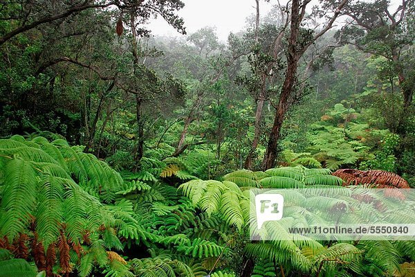 Rainforest  Kilauea  Island of Hawaii  USA