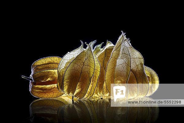Physalis  Blasenkirschen (Physalis) auf Glasplatte Physalis, Blasenkirschen (Physalis) auf Glasplatte