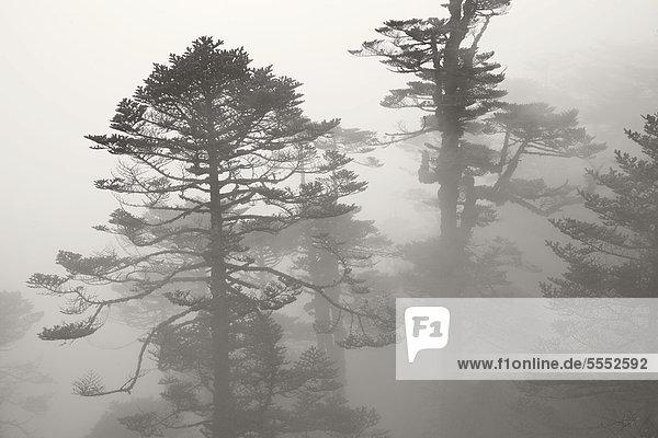Pinien im Nebel auf dem Singalila Trek  Singalila Ridge  bei Darjeeling  Westbengalen  Indien  Asien