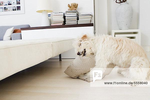 Hundebeißkissen im Wohnzimmer