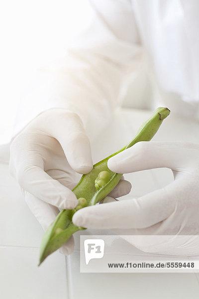 Wissenschaftler untersucht Erbsen in der Schote