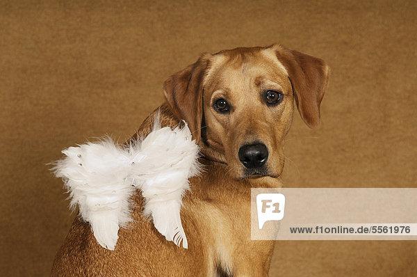 Gelbe Labrador Retriever Hündin mit Engelsflügeln