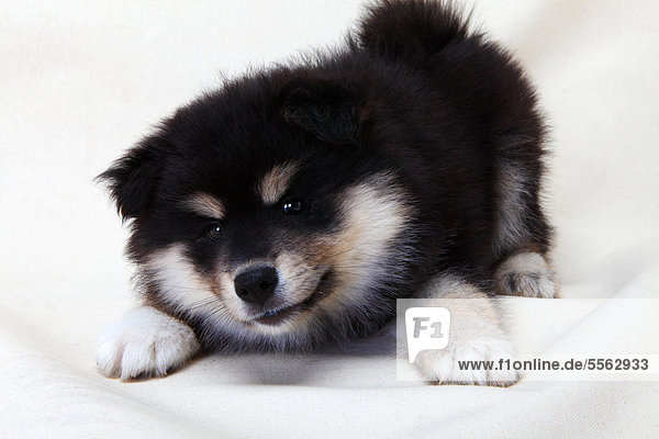 A Finnish Lapphund puppy