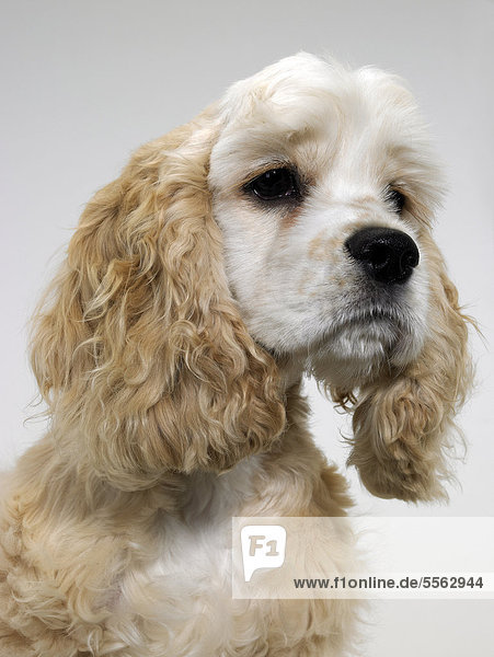 An American Cocker Spaniel looking sad