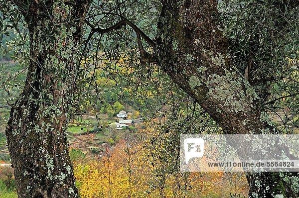 Baum Tal Fluss Olive Plantage Galicien Spanien