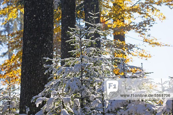Verschneiter Bergwald im Herbst  Berchtesgadener Alpen