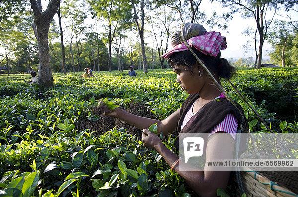 Teeblatt Frau Produktion Garten Asien Assam Indien zupfen Jahr