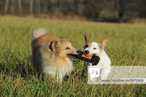 Sheltie  Shetland Sheepdog  Farbe Sable  und Jack Russell Terrier laufen durch Wiese  spielen gemeinsam