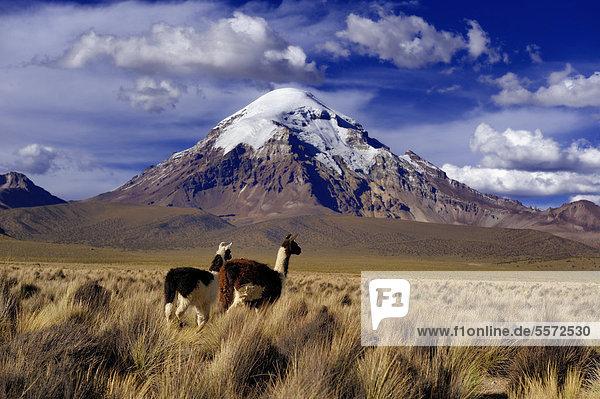 Sajama  höchster Berg Boliviens mit Hochfläche und Lamas (Lama sp.)  Sajama Nationalpark  La Paz  Bolivien  Südamerika