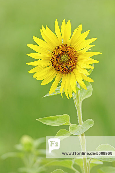 Sonnenblume (Helianthus annuus)  Provence  Südfrankreich  Frankreich  Europa