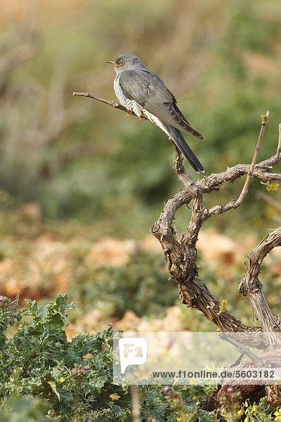 Kuckuck (Cuculus canorus) hockt auf einem Zweig