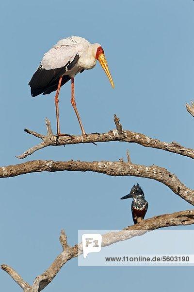 Nimmersatt (Mycteria ibis) und Riesenfischer (Megaceryle maxima) auf einem Ast