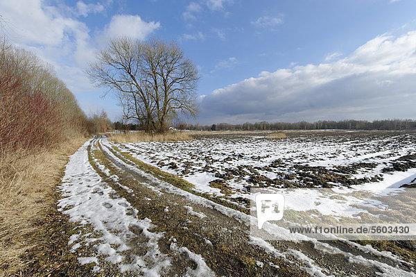 Baum in winterlicher Landschaft bei Perach  Oberbayern  Bayern  Deutschland  Europa