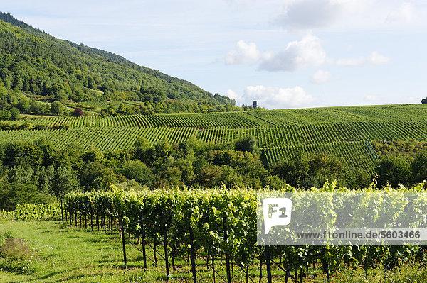 Weinberge  Weinfelder  Reben bei Edenkoben  Deutsche Weinstraße  Pfälzer Wein  Naturpark Pfälzerwald  Rheinland-Pfalz  Deutschland  Europa