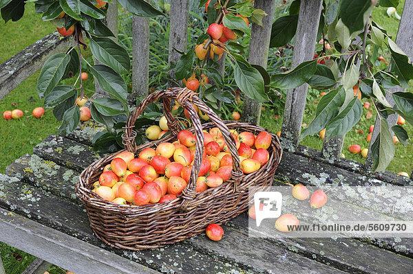 Holzäpfel (Malus sp.) John Downie  Früchte  Korb mit Ernte auf Gartenbank  Norfolk  England  Großbritannien  Europa
