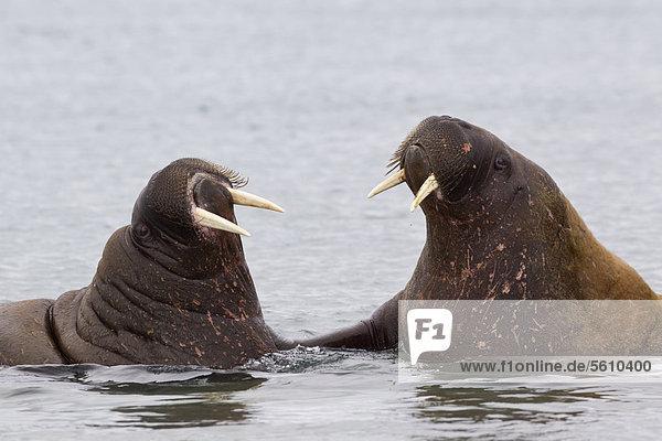 Zwei Atlantische Walrösser (Odobenus rosmarus rosmarus)  adult  einander zugewandt im Meer  Spitzbergen  Svalbard  Norwegen  Europa