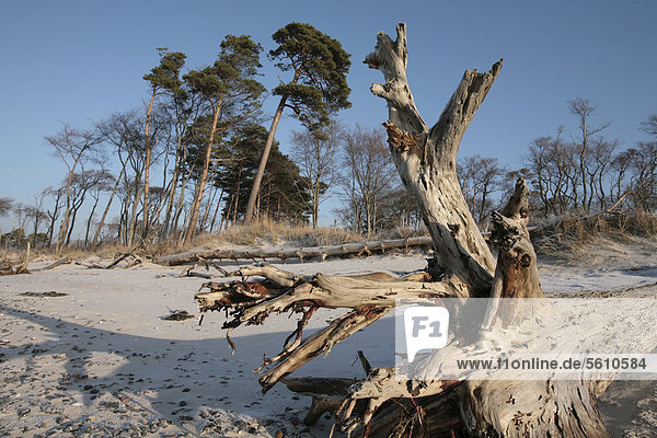 Europa Landschaft Wald Holz Ostsee Baltisches Meer Bodden Darß Deutschland Mecklenburg-Vorpommern
