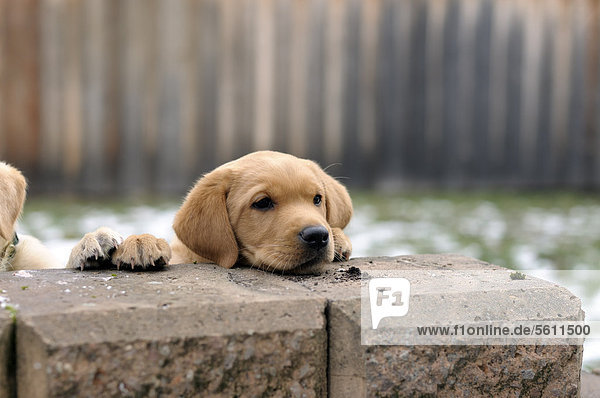 Blonder Labrador Retriever Welpe legt Kopf auf Mauer