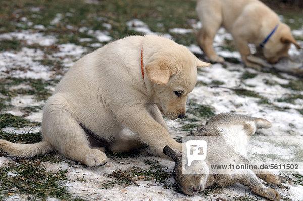 Blonder Labrador Retriever Welpe bei Rohfütterung mit einem Kaninchen
