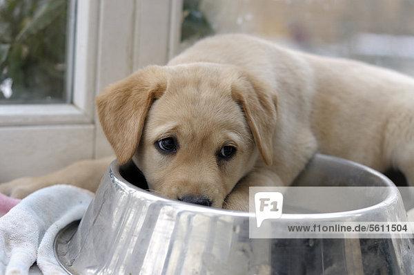 Blonder Labrador Retriever Welpe liegt halb im Trinknapf