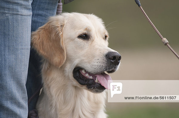 sitzend,Inhaber,Golden Retriever