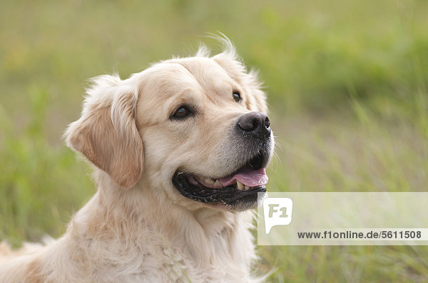 Golden Retriever, Portrait