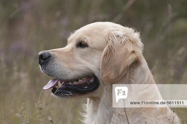 Golden Retriever, Portrait