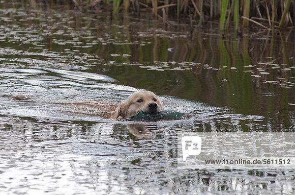 Golden Retriever schwimmt im Wasser mit Dummy im Maul