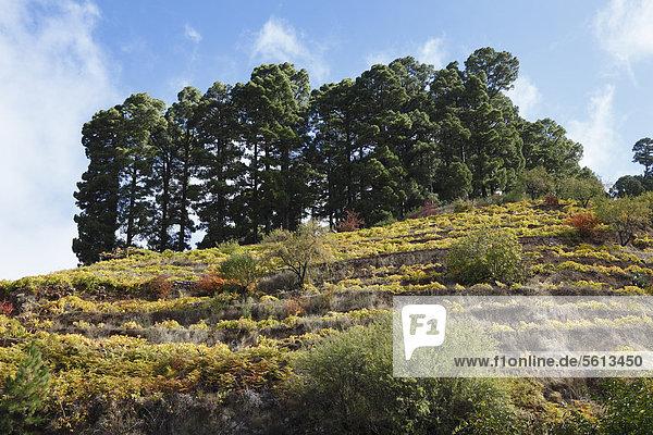Weinberge oberhalb von Garafia  La Palma  Kanaren  Kanarische Inseln  Spanien  Europa