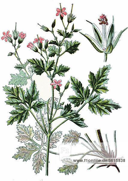 Ruprechts-Storchschnabel (Geranium robertianum)  Heilpflanze  historische Chromolithographie  ca. 1870