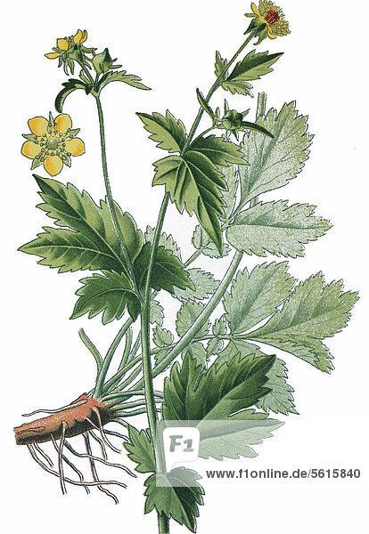 Nelkenwurz (Geum urbanum)  Heilpflanze  historische Chromolithographie  ca. 1870