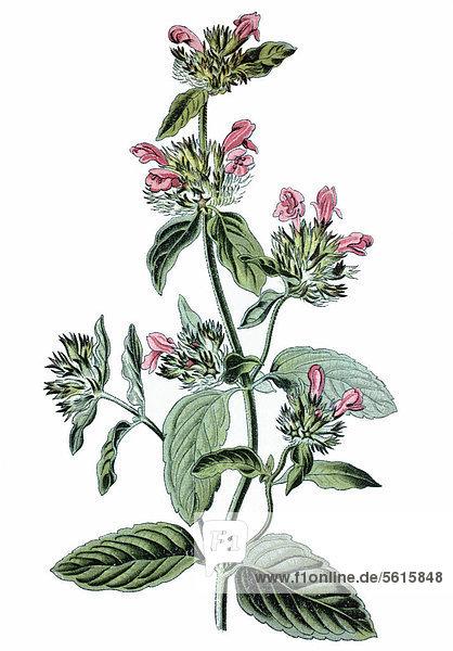 Wirbeldost (Clinopodium vulgare)  Heilpflanze  historische Chromolithographie  ca. 1870