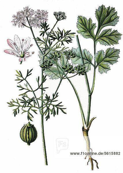 Koriander (Coriandrum sativum)  Heilpflanze  historische Chromolitographie  ca. 1870