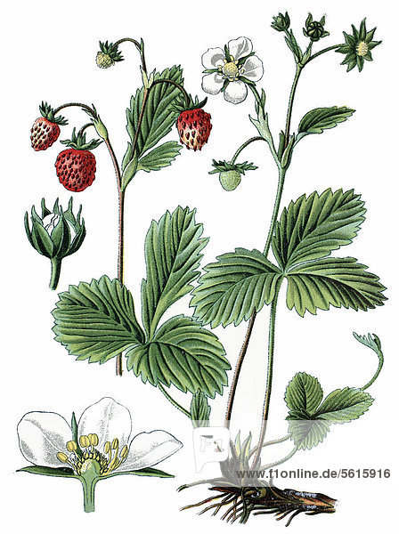 Wald-Erdbeere (Fragaria vesca)  Heilpflanze  historische Chromolithographie  ca. 1870