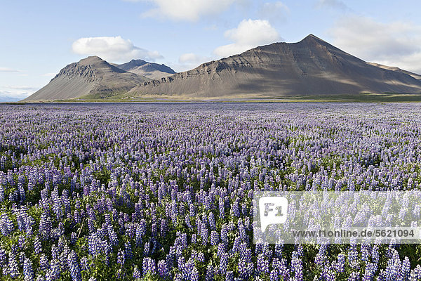 Open fields full of blooming Nootka Lupine (Lupinus nootkatensis) in front of the lava mountains near Akranes  in the west of Iceland  Europe