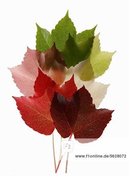 Bunte Blätter vom Wilden Wein Bunte Blätter vom Wilden Wein