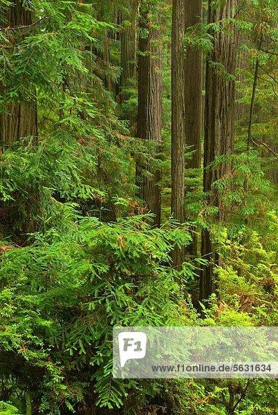 Coast redwood along Trillium Falls Trail  Redwood National Park  California