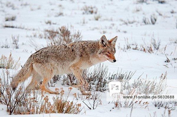 Elch  Alces alces  nahe  Kojote  Canis latrans  Winter  Großstadt  Jagd  Flucht  Jackson  Schnee