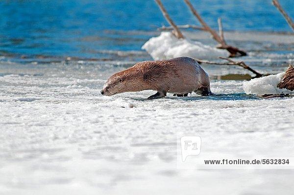 Otter  Lutrinae  nahe  Biegung  Biegungen  Kurve  Kurven  gewölbt  Bogen  gebogen  Winter  Ehrfurcht  Fluss