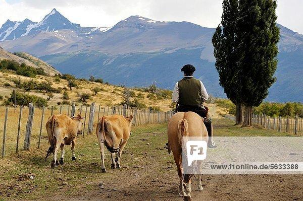 estancia Nibepo Aike on the Argentino lakeshore  around El Calafate  Patagonia  Argentina  South America